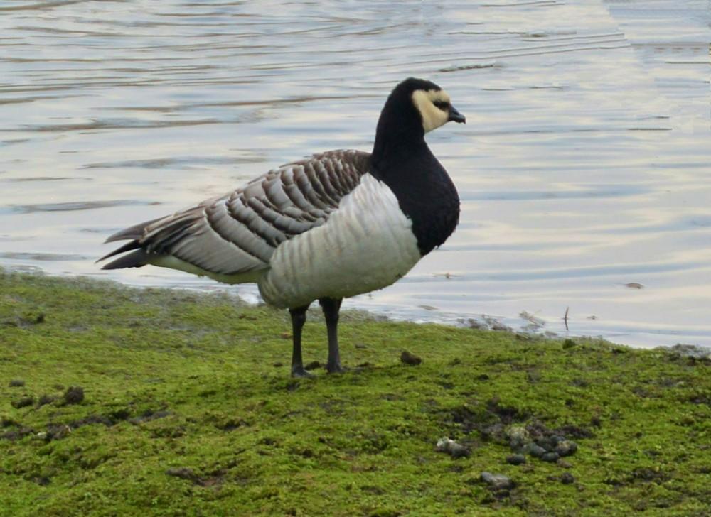 008  Barnacle Goose
