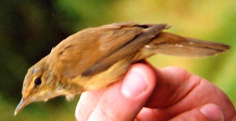 189  Blyth's Reed Warbler