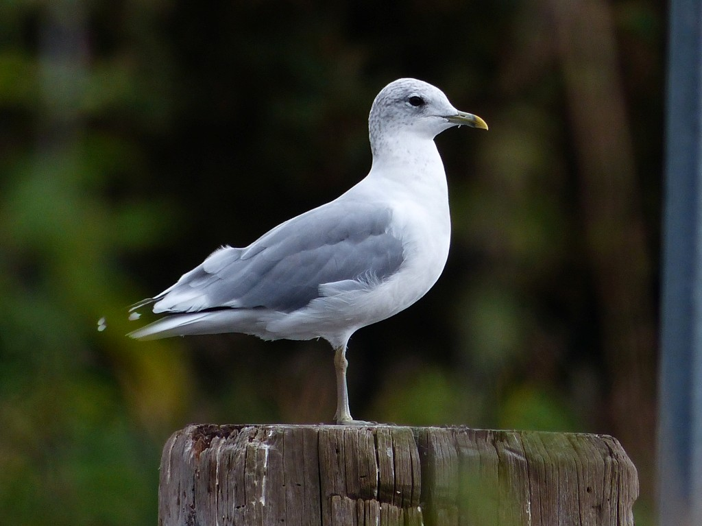 124  Common Gull