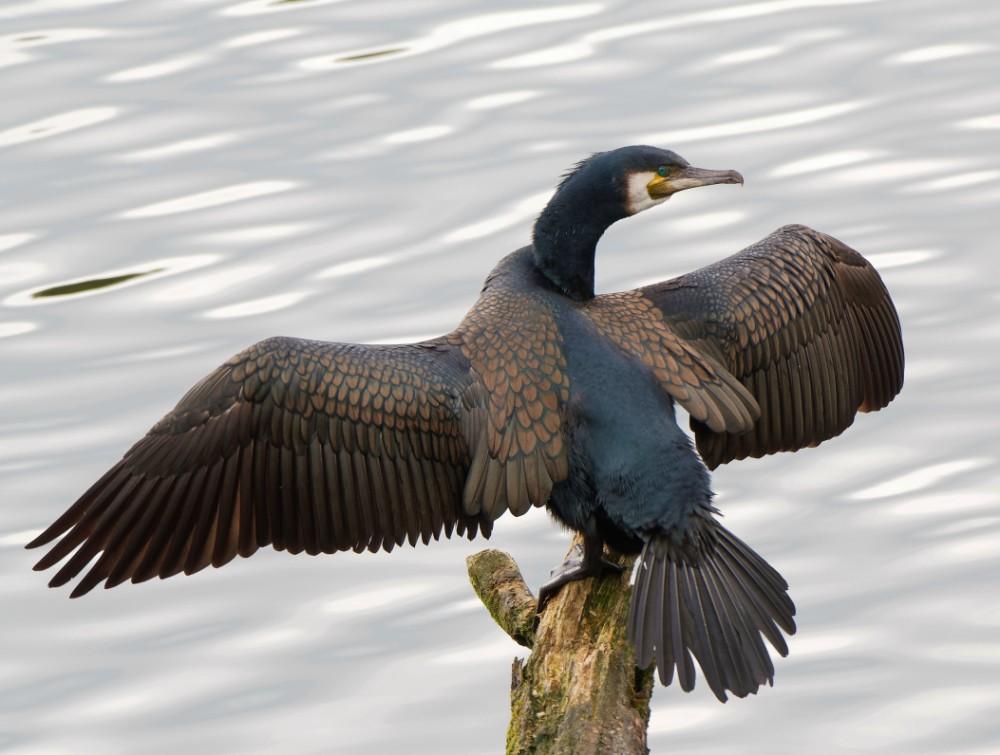 044  Cormorant