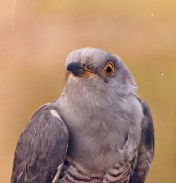 140  Cuckoo