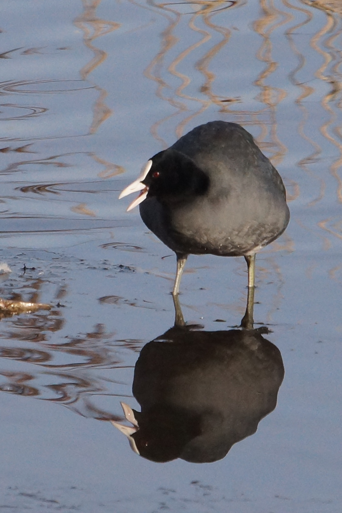 075  Coot