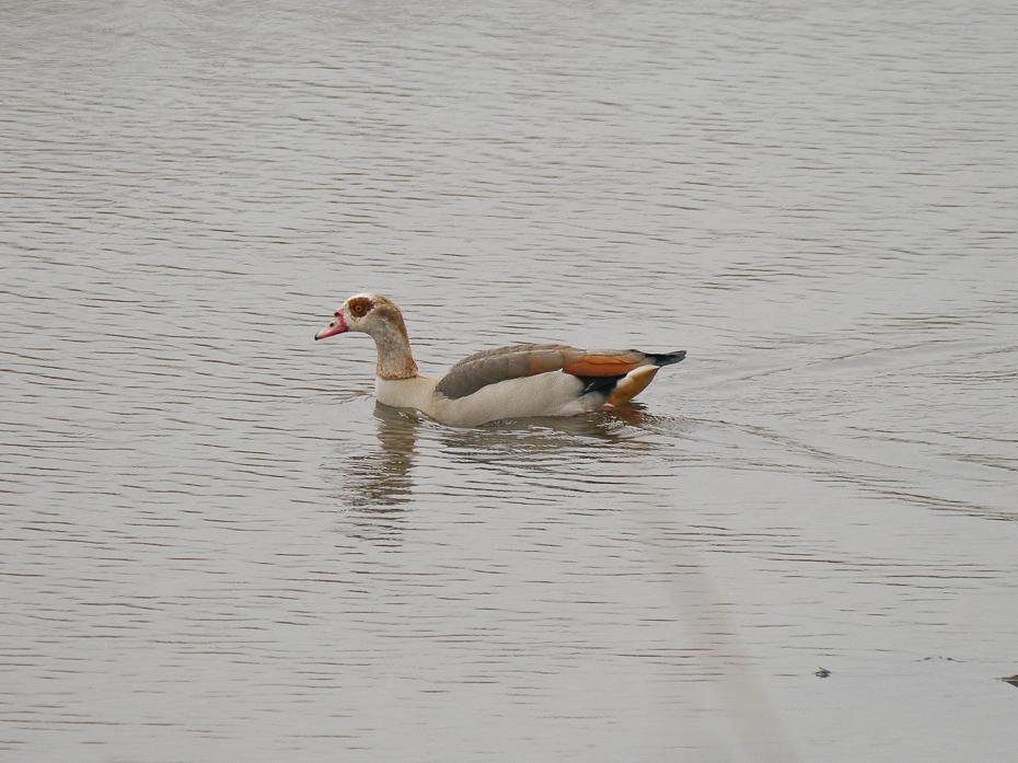 010 Egyptian Goose
