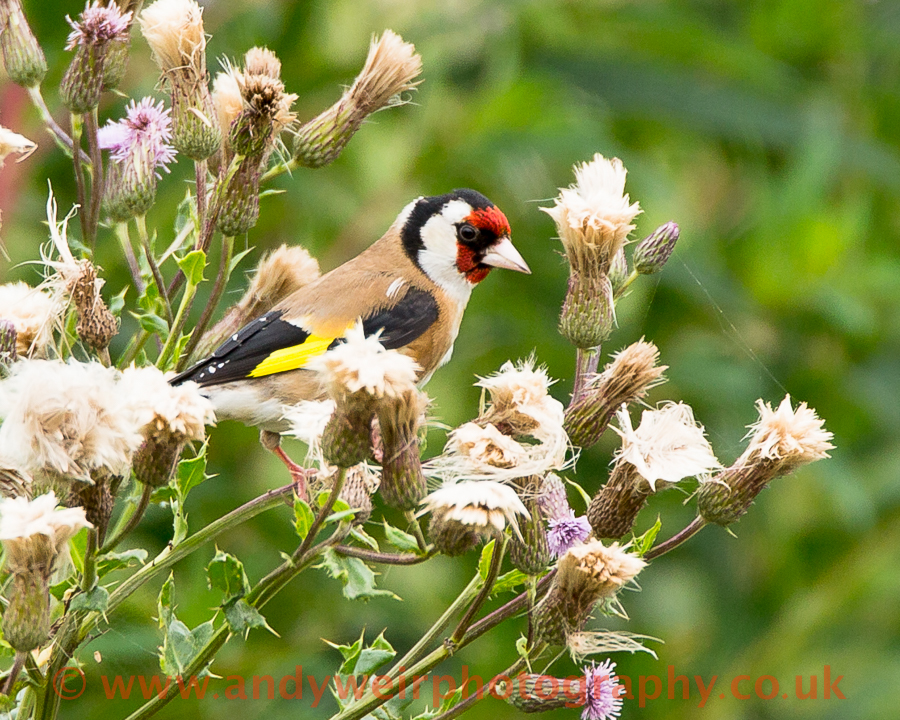 221  Goldfinch