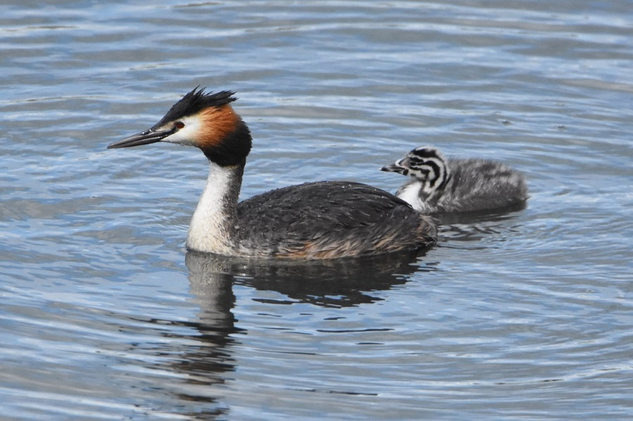 053  Great Crested Grebe