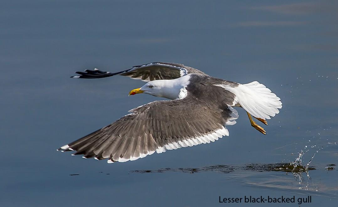 128  Lesser Black-backed Gull