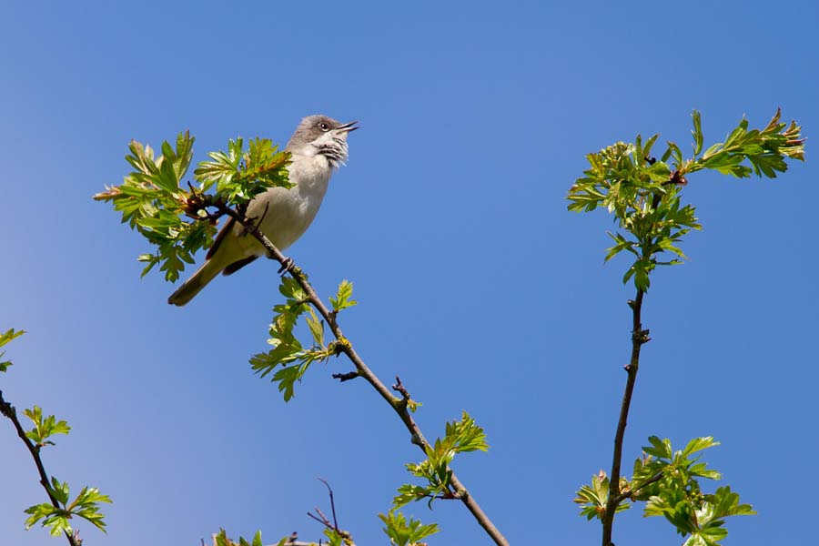 180  Lesser Whitethroat