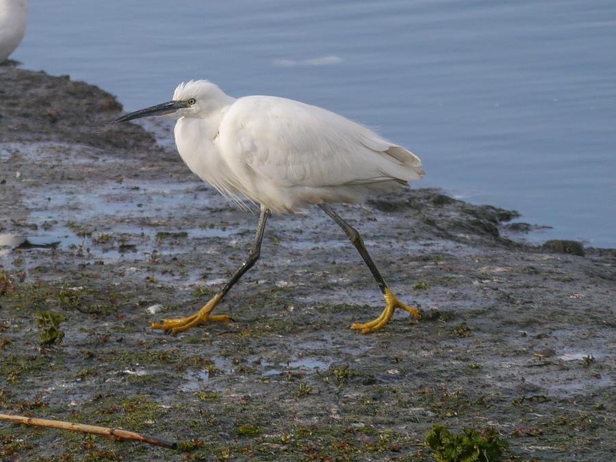 048  Little Egret