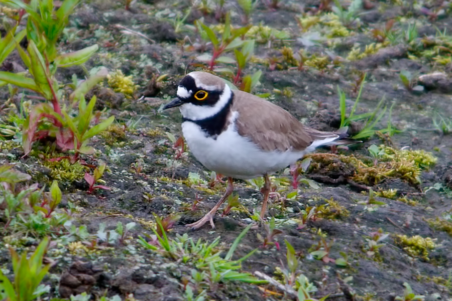 081  Little Ringed Plover