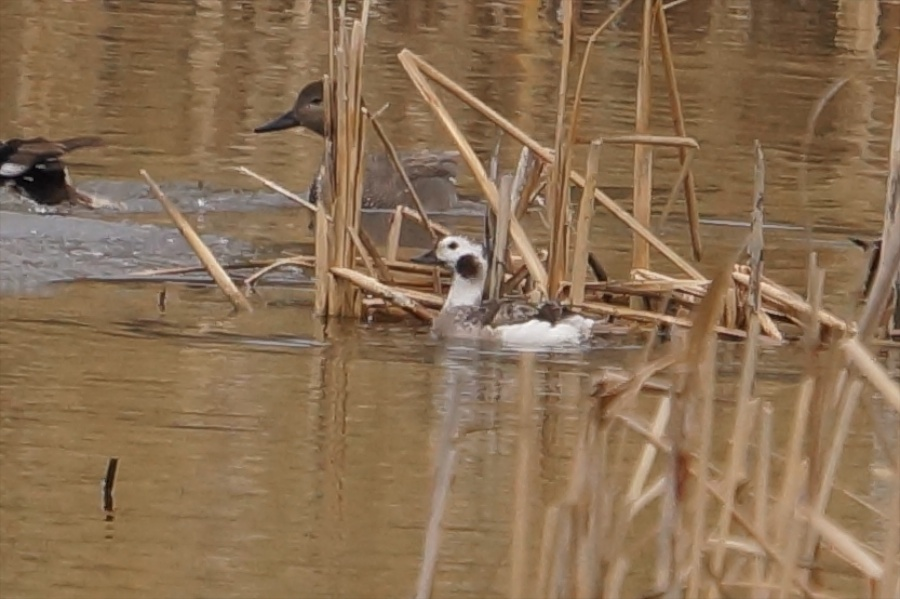 027  Long-tailed Duck