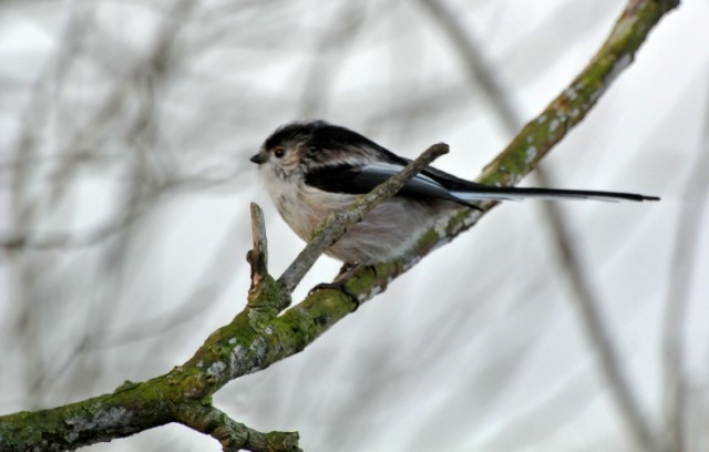 173  Long-tailed Tit