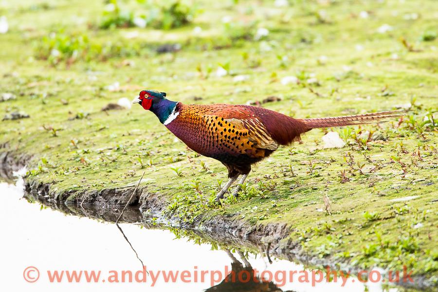 038  Pheasant