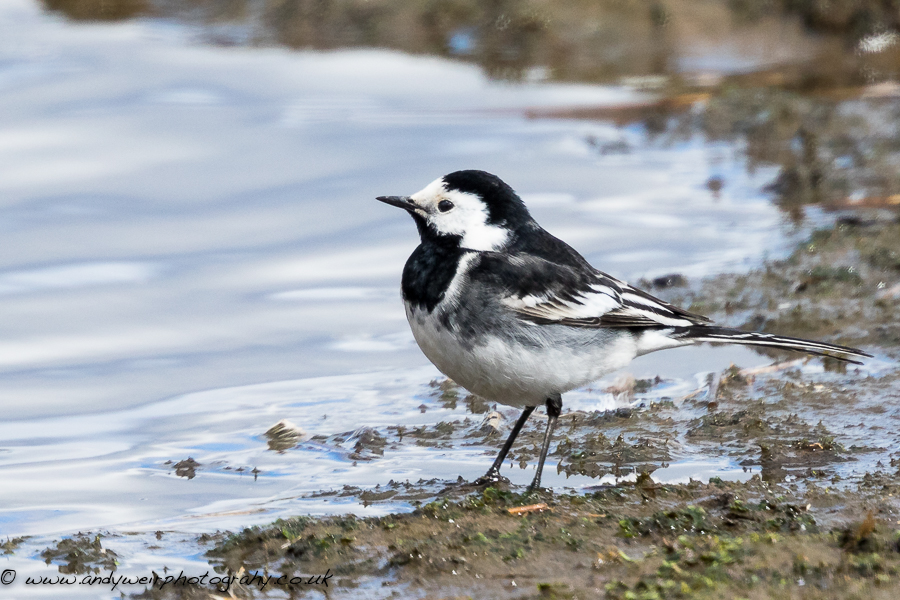 219  Pied Wagtail