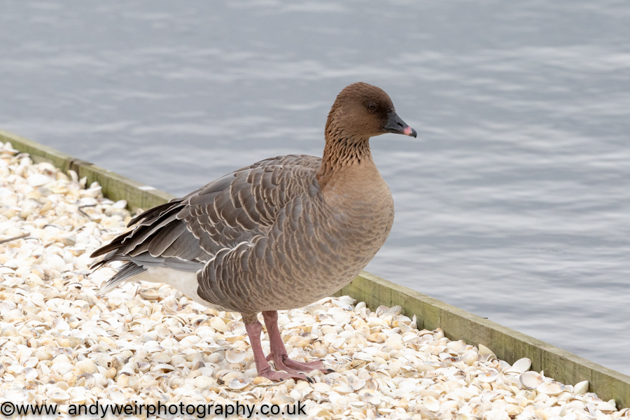 004  Pink Footed Goose