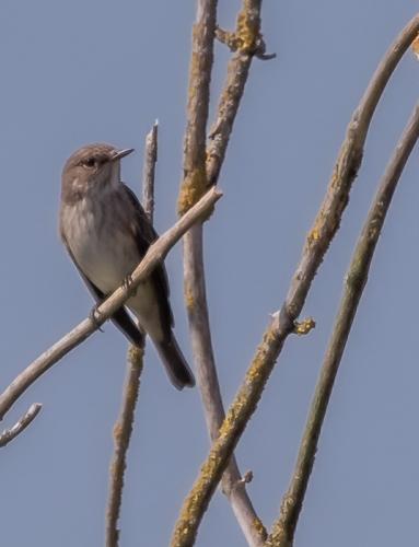 204  Spotted Flycatcher