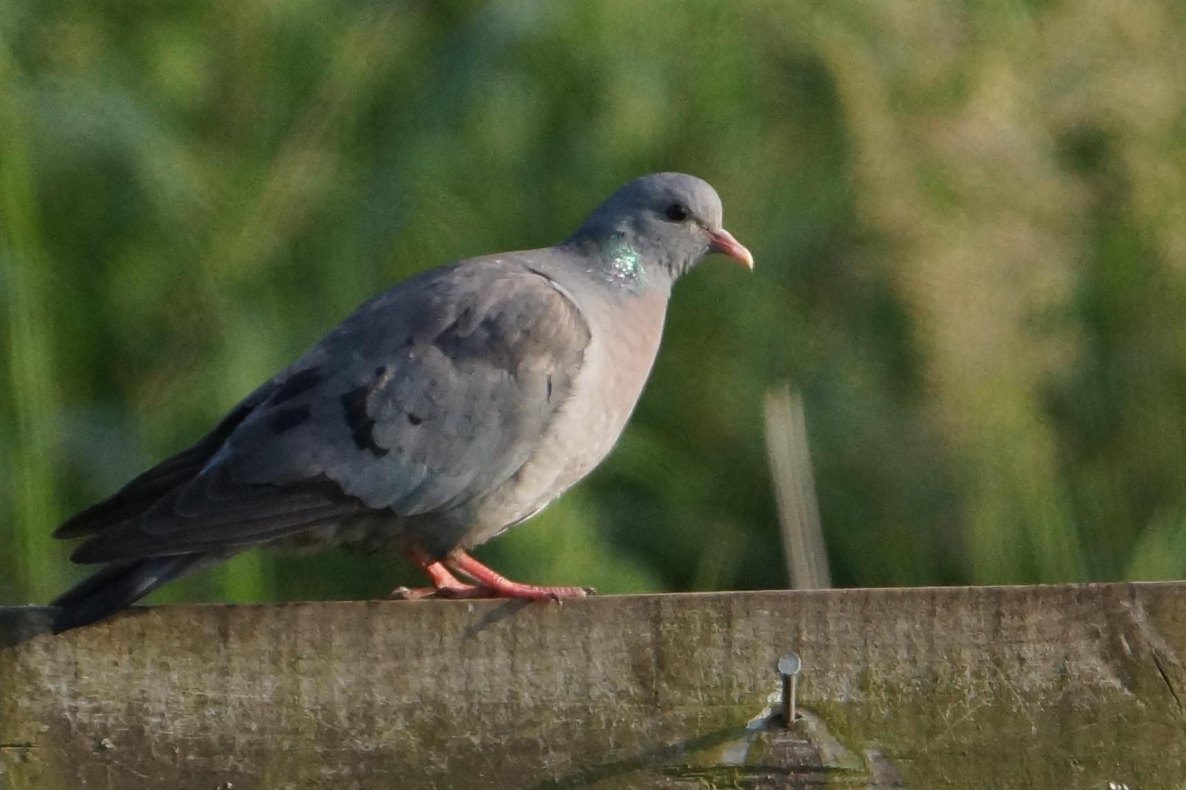 135  Stock Dove