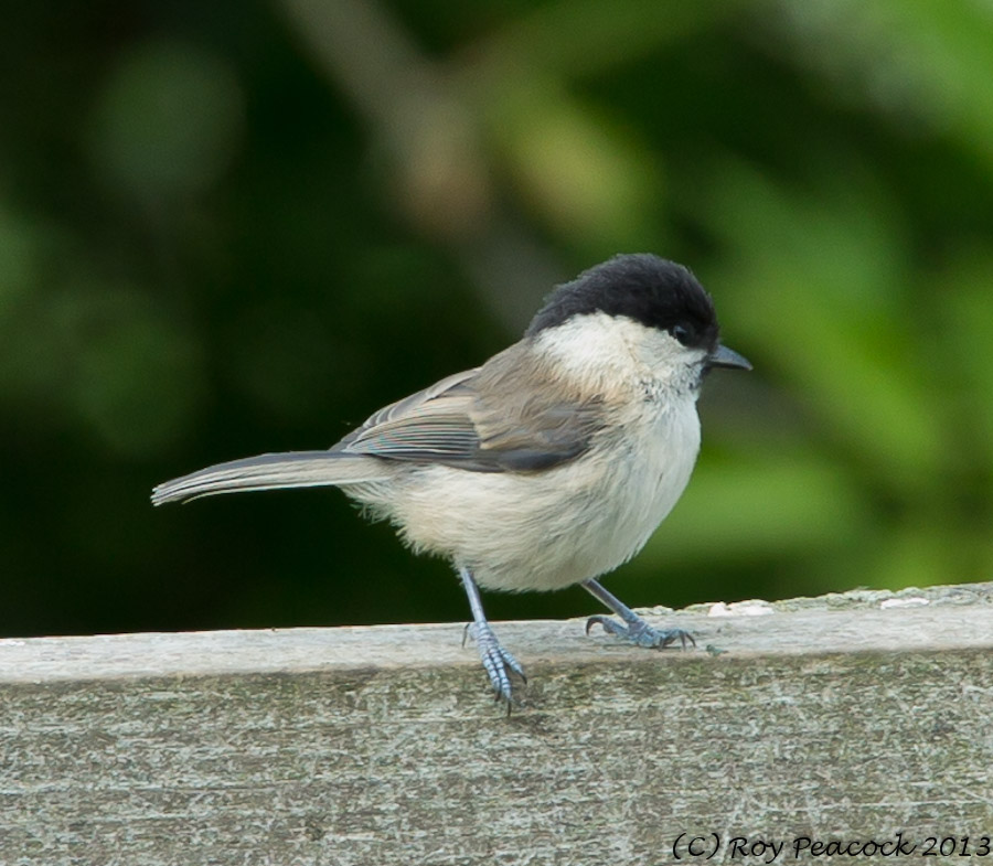 169  Willow Tit