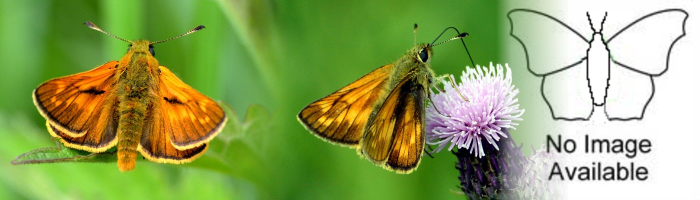 02  Large Skipper