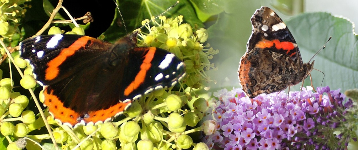16  Red Admiral