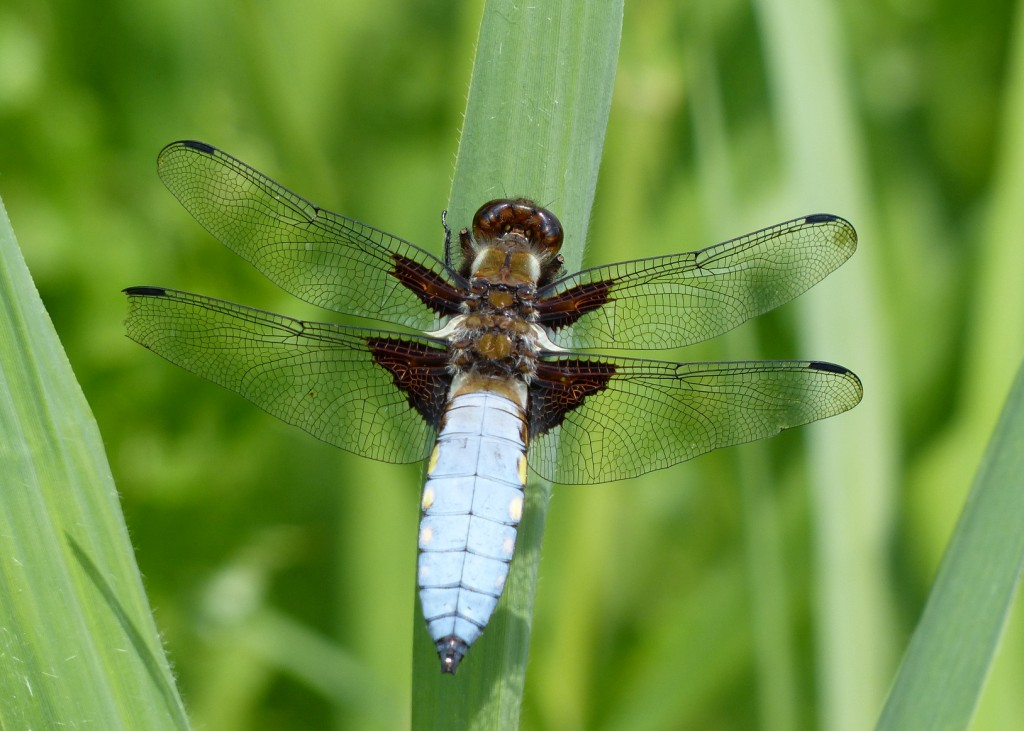 14  Broad-bodied Chaser