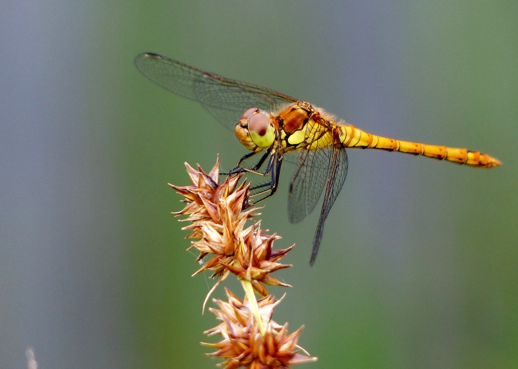 21 Common Darter