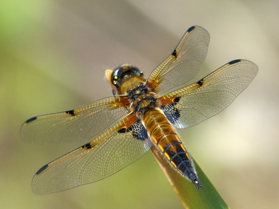 15  Four-spotted Chaser