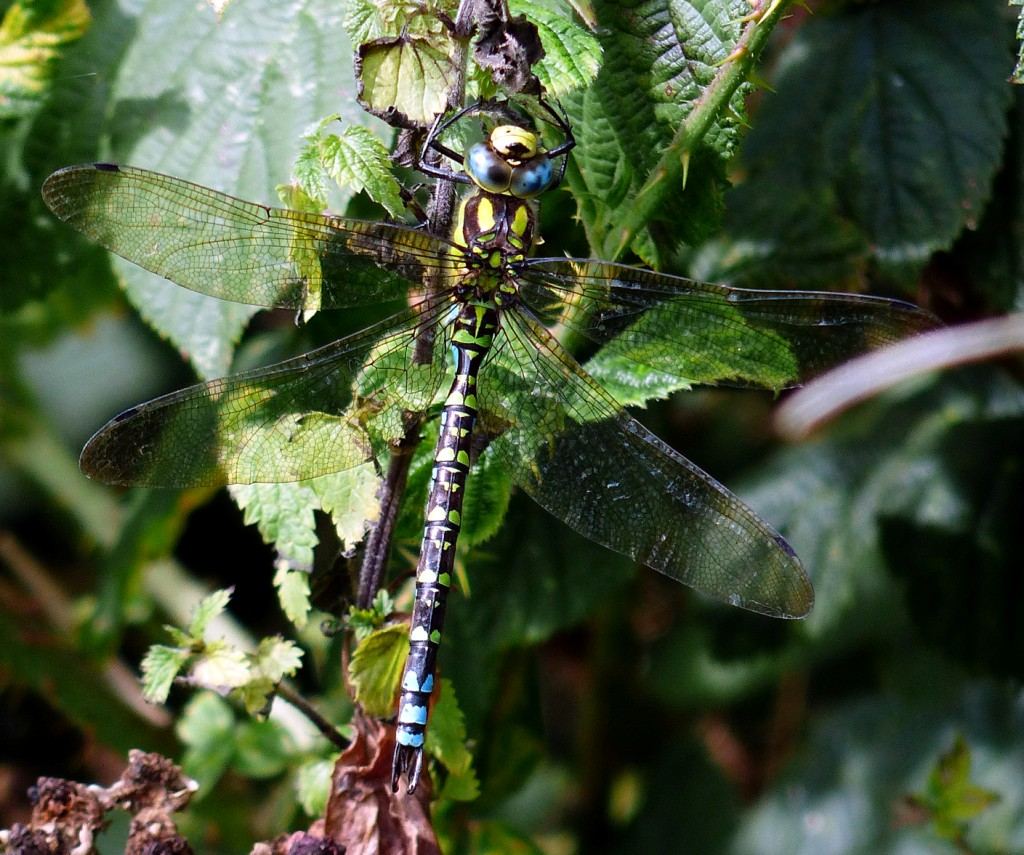 08  Southern Hawker