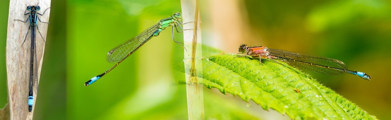 05  Blue-tailed Damselfly