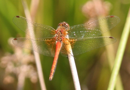 18  Yellow-winged Darter
