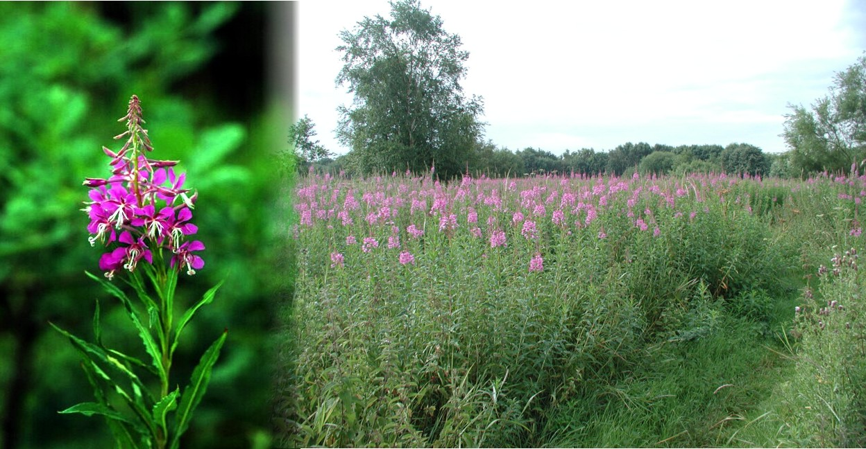 071 Rosebay Willowherb