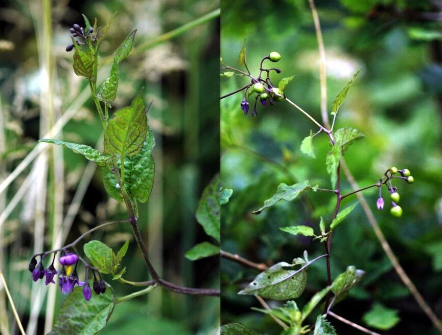 097 Solanum dulcamara