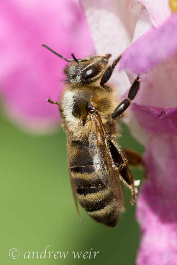 07 Western Honey-bee